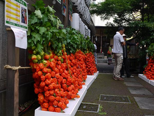 insight into japan's beauty. a chinese lantern plant is annually, Beautiful flower